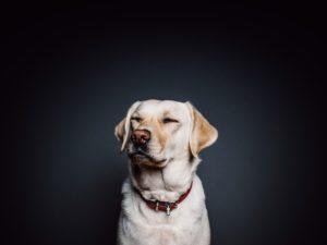 飛行機に乗るためにダイエットさせられている犬
