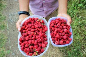 収穫したラズベリーでラズベリージャムを作る