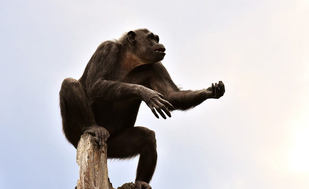人間の子どもとは違うチンパンジー