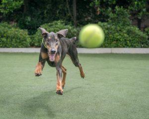 テニスボールで遊んでもらっている犬