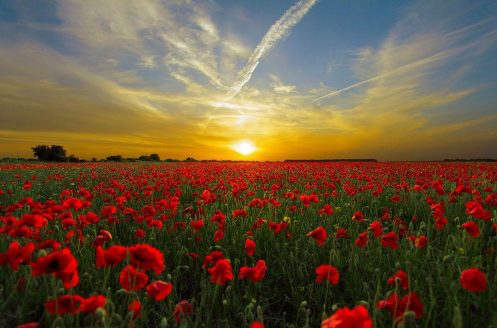 激戦地フランダースに咲いた赤いポピー