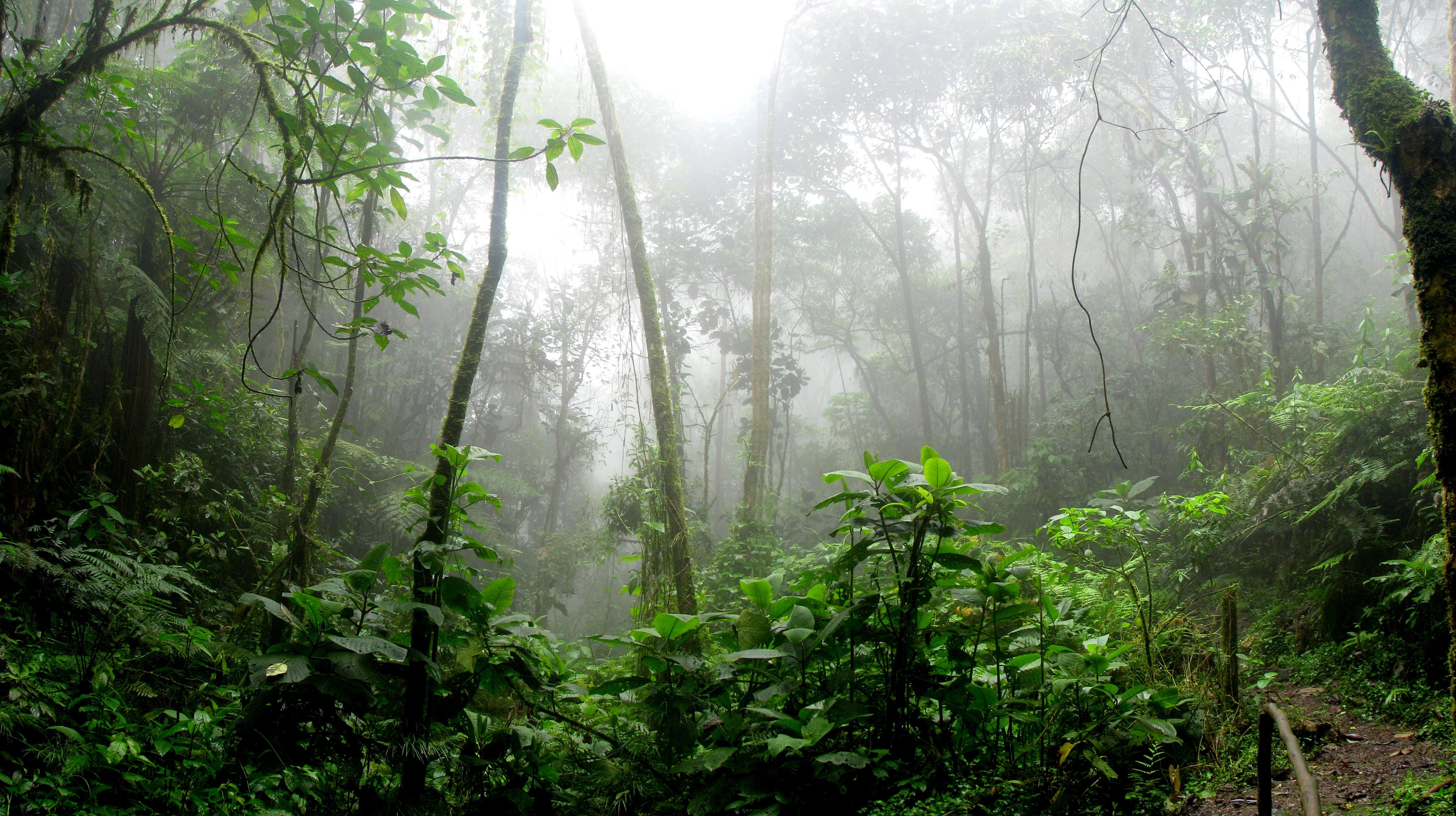 ブラジルの木