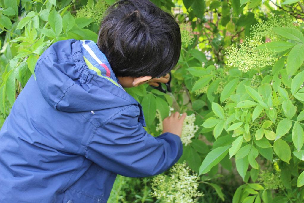 エルダーフラワーを収穫する